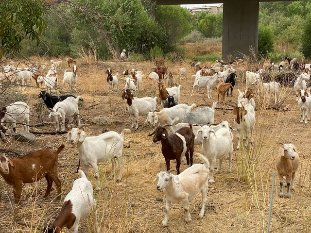Goats-and-sheep-graze-salinas-riverbed-IMG_1894